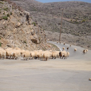 Sheep in the Cretan mountains